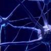 跟踪控制身体新陈代谢的大脑界面的发育