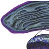第一次模拟全尺寸线粒体膜