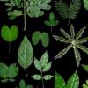 研究揭示了豆科植物三叶模式形成的框架