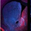 表达多巴胺受体的神经元之间存在显着差异