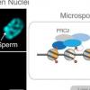 新工作揭示了后生标记在精子中是如何特别重置的