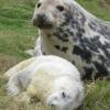 研究揭示了灰海豹母性牺牲的程度