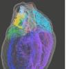 心脏的正常功能由复杂的神经网络由身体的控制中心维持
