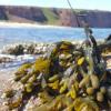 糖使褐藻变成良好的碳储存