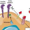 研究人员发现蛋白质如何抑制小鼠的癌症发展
