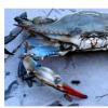 蓝蟹种群保持在健康范围内