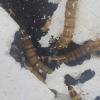 超级蠕虫在细菌的帮助下消化塑料
