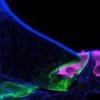 研究人员设计了小鼠内耳的声音感知结构的发展图