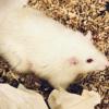 实验室培养的微型人类肝脏已成功移植到大鼠中