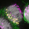 研究人员确定了植物特定器官消除染色体背后的过程