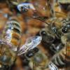 蜜蜂互相梳理可以增强菌落免疫力