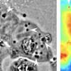 科学家以鱿鱼般的透明性改造人体细胞