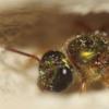 回收旧基因以获得新特性 蜜蜂的社交行为如何演变