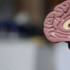 研究表明狒狒模型可能有助于阿尔茨海默氏病的干预