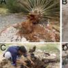 在索科特拉岛确认存在毁灭性害虫
