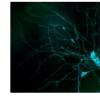 非典型肌球蛋白在神经元分支中起关键作用
