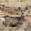 研究揭示了气候变化对黑尾鹿迁徙的影响