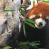 DNA分析揭示小熊猫有两种不同的物种