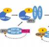 科学家发现在神经元发育过程中平衡蛋白质稳定性的新机制