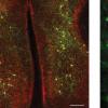 不同大脑半球中神经元之间的同步可能有助于行为适应