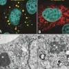 缓慢增长的轮状病毒突变体揭示了病毒装配的早期步骤