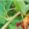 一项新研究揭示了木豆花粉不育的奥秘及其逆转