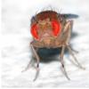 果蝇研究表明 进化驱动男性线粒体疾病的风险更高