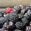 在小鼠研究中 黑树莓显示出有望减轻皮肤炎症