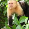 研究发现雄性和雌性卷尾猴表现出明显的大脑结构差异