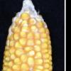 CRISPR使作物的一步式杂交种子生产成为可能