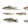 进化生物学家发现几种鱼类以相同方式适应有毒水