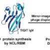 D肽阻断检查点进行癌症免疫治疗
