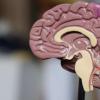 研究人员确定免疫细胞在大脑发育中的关键作用