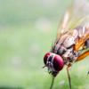 果蝇的新线索表明性激素在干细胞控制中的关键作用