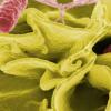 沙门氏菌感染期间淀粉样蛋白促进了反应性关节炎