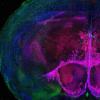 研究人员开发出绘制小鼠脑细胞变化和发育图谱的方法