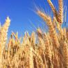 新型生物材料诱捕作物出芽孢子以帮助全球小麦生产