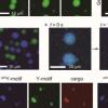 科学家构建了包含设计的DNA纳米结构的DNA液滴