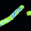蛋白质如何调节细菌细胞的外壳