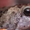 脱水增加了两栖动物对气候变化的脆弱性