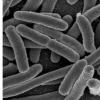 麦吉尔大学的研究人员发现了与基因表达有关的细菌细胞器