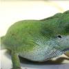 蜥蜴的免疫系统不仅可以抵抗细菌 还可以繁殖断尾的尾巴