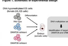 DNA甲基化在哺乳动物个体发育中起着至关重要的作用