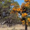DNA显示澳大利亚西南部最大的寄生植物适应气候
