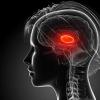 研究发现 两个不同的回路驱动大脑感觉丘脑的抑制