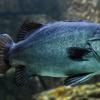 研究人员用食物残渣制成鱼饲料