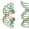 发现四链DNA结构在乳腺癌中起作用
