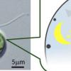 科学家发现时钟基因如何唤醒绿藻