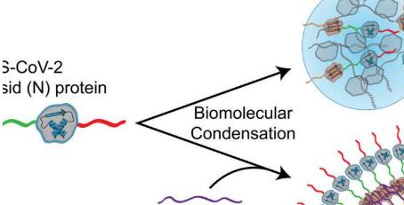 研究人员鉴定出一种蛋白质 可以帮助SARS-CoV-2在细胞中快速传播