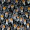 研究称 空气污染可能使蜜蜂生病